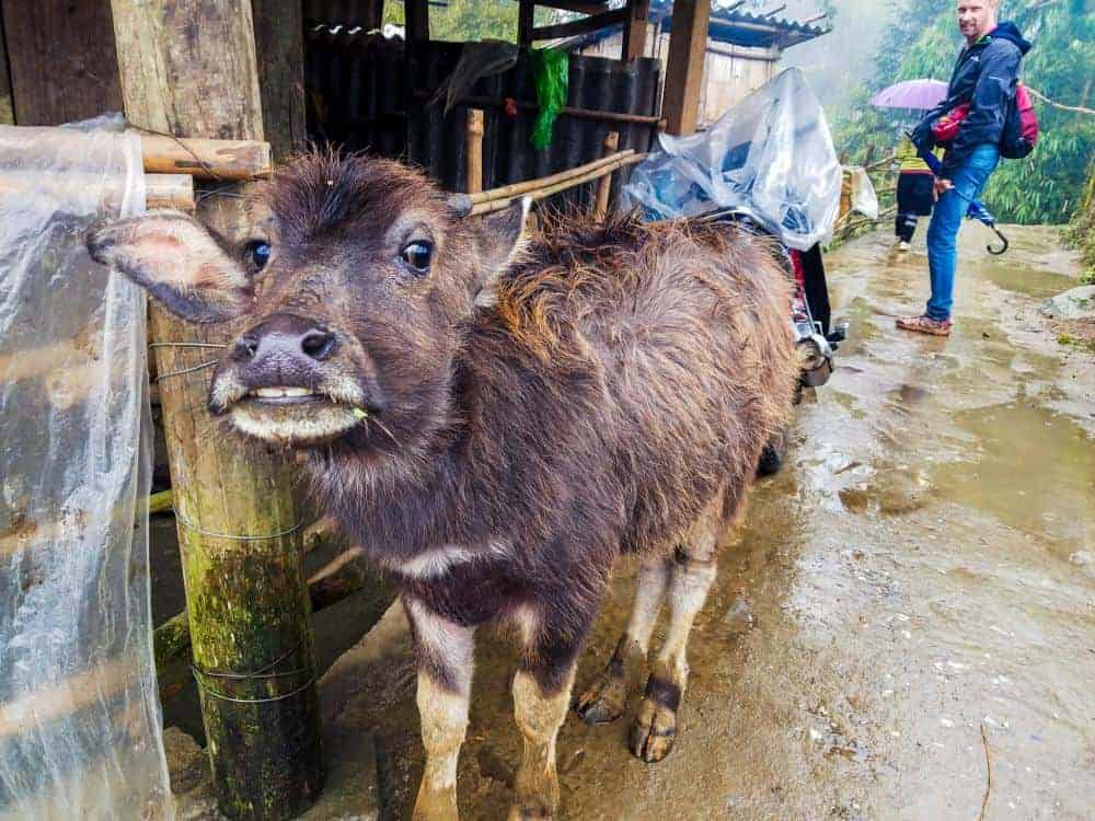 Animals live freely in Sapa
