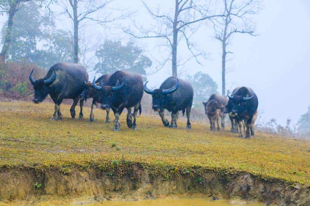 Water bufalos along the way