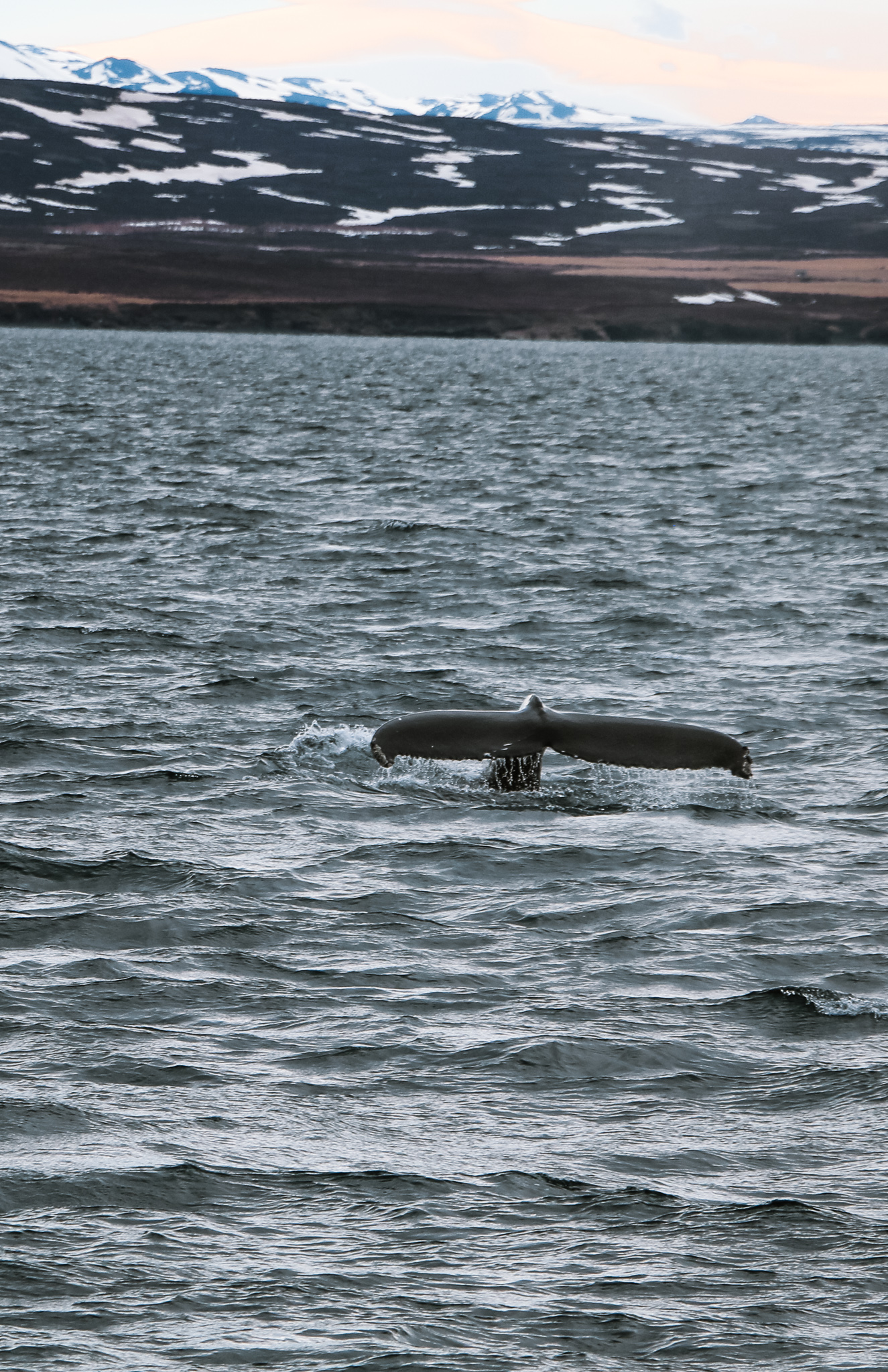 Whale watching in Iceland Ring Road