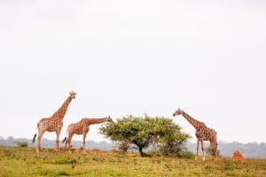 Giraffes at a South-Africa safari