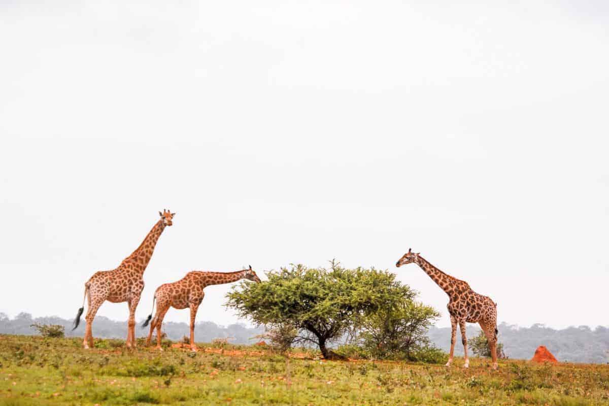 Giraffes at a South-Africa safari