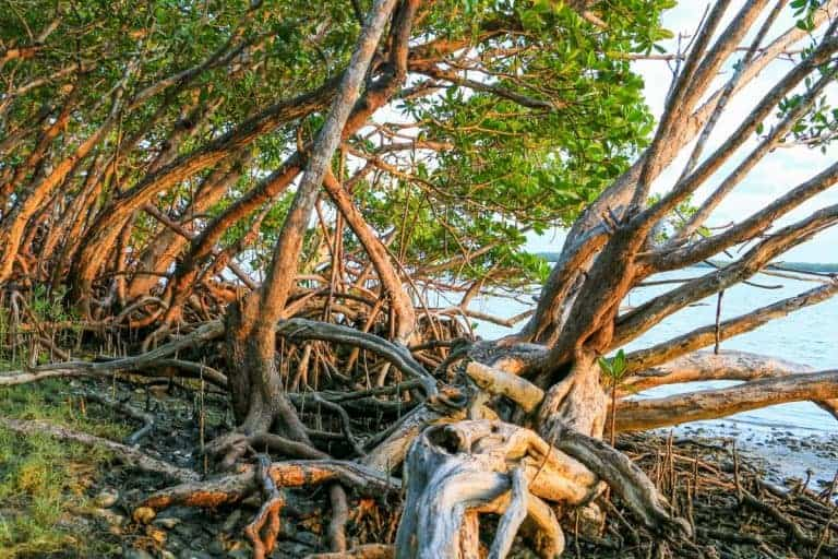The second largest mangrove forest in the world is Ten Thousand Islands