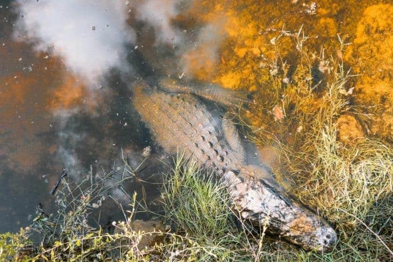 Alligator at the Everglades in Florida