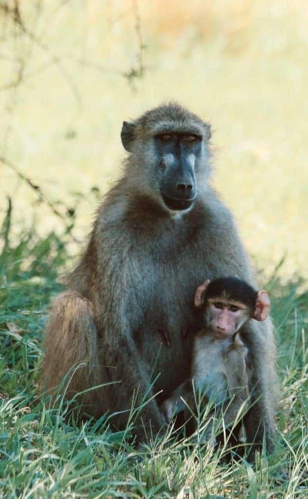 Botswana safari monkey