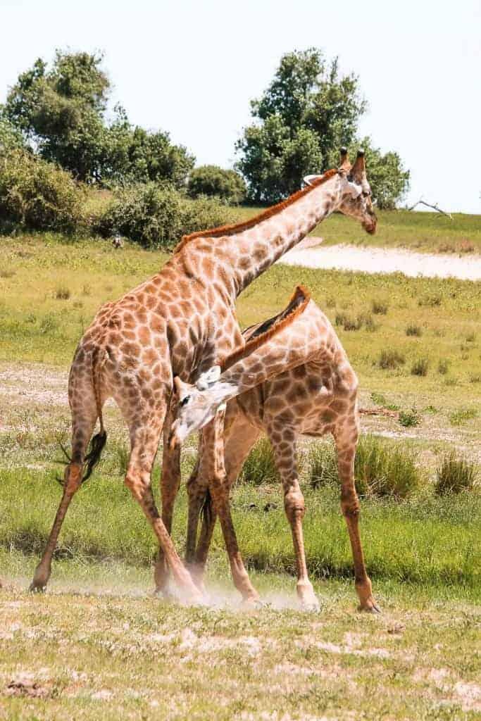 Giraffe in safari